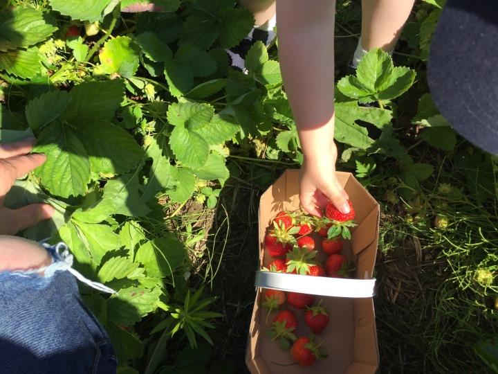 Family Fun – Strawberry Picking